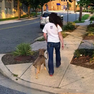 Loose leash walking with a pit bull  - Philadelphia dog training